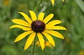 Black Eyed Susan #14