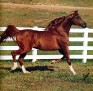 *ENRILO #373525 (*Probat x Emisja, by *Carycyn) 1981 chestnut stallion bred by Michalow; imported to the US 1986 by Lasma