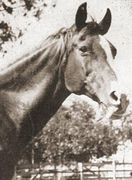 BAZIKH #618 (*Abu Zeyd x Bazrah, by *Rodan) 1927 chestnut mare bred by WR Brown/ Maynesboro Stud; produced 13 registered purebreds