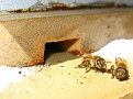 Feeding my Honey Bees Raw Sugar at the Hive Entrance.  Some Bees were taking this.
