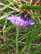 Fleißiges Honigsammeln