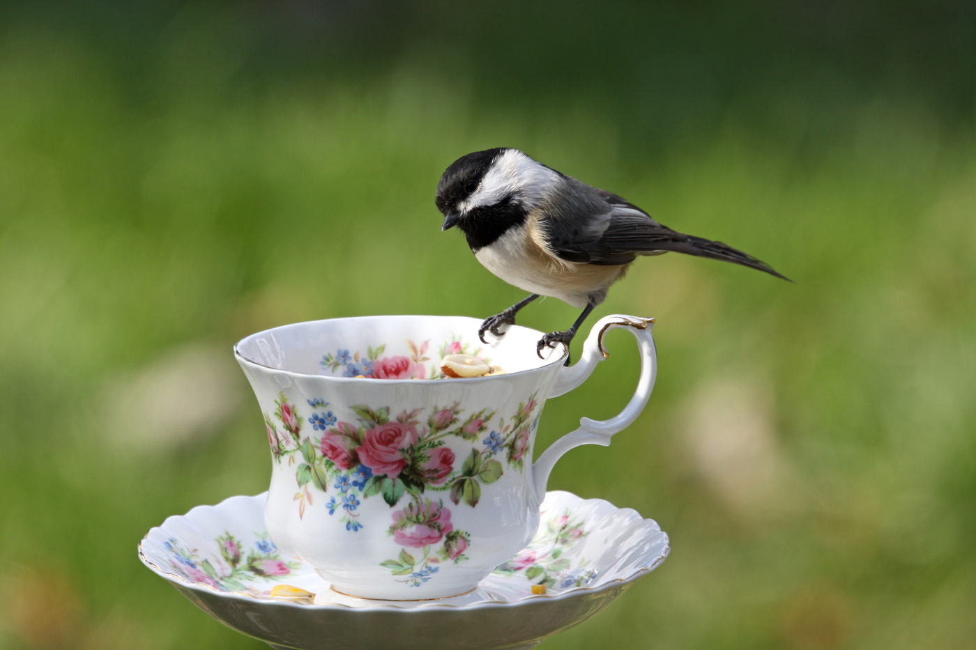 Chickadee at Teacup #15