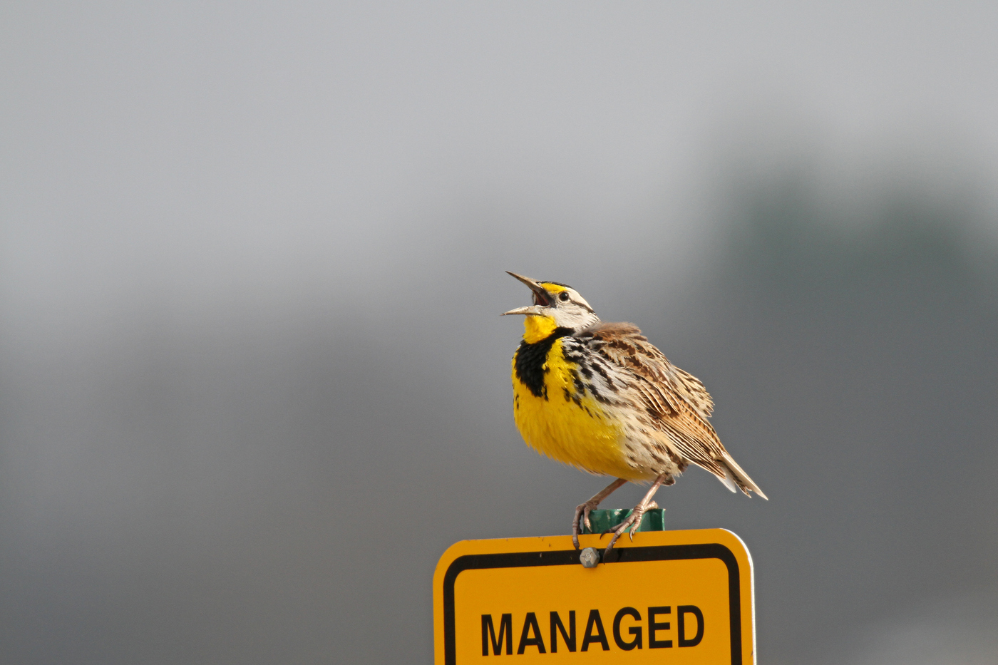 Eastern Meadowlark #12