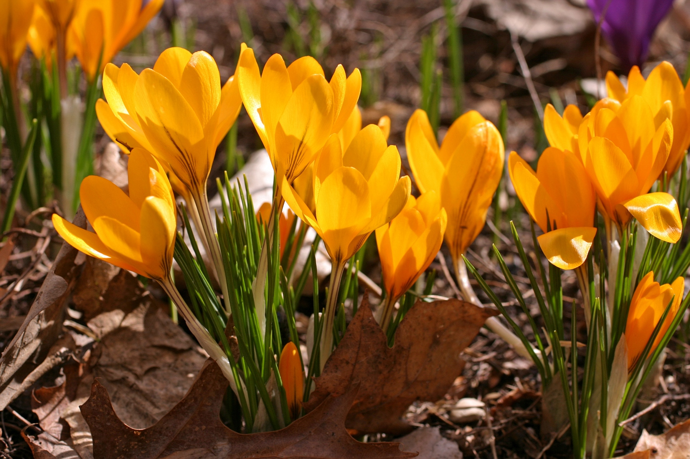 Assortment of Giant gold crocus