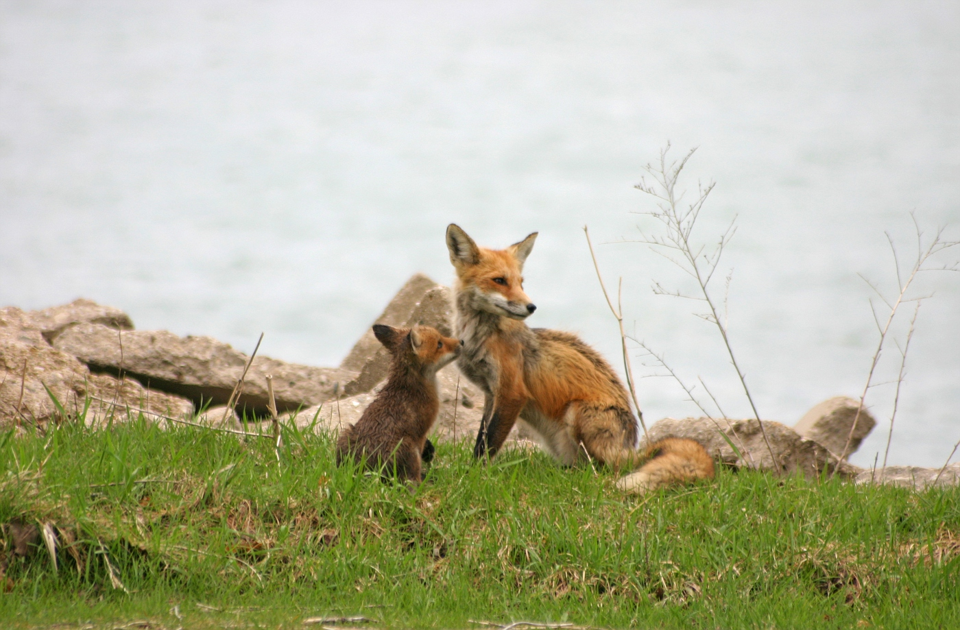 Red Fox Series #19