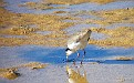 Plover in the Wynnum wading pool 010