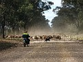 Droving a mob of sheep in the Pilliga 006