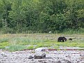 Black bear and cub in Glacier Bay