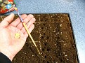 Make holes for seeds to drop in...  (I used a chop stick) about 3 holes per cell and about 2-3 seeds per hole... as not all will germinate...  Will later thin out...