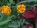 Marigold and Coleus