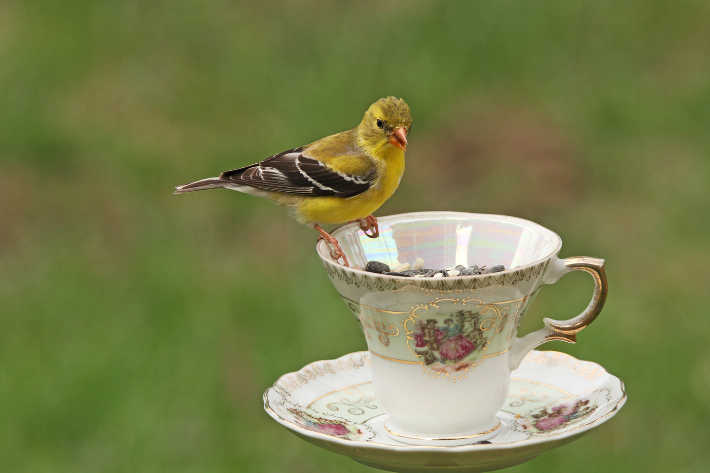 Goldfinch Teacup #13