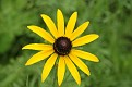 Black Eyed Susan #13