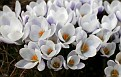 White and Purple Snow Crocus