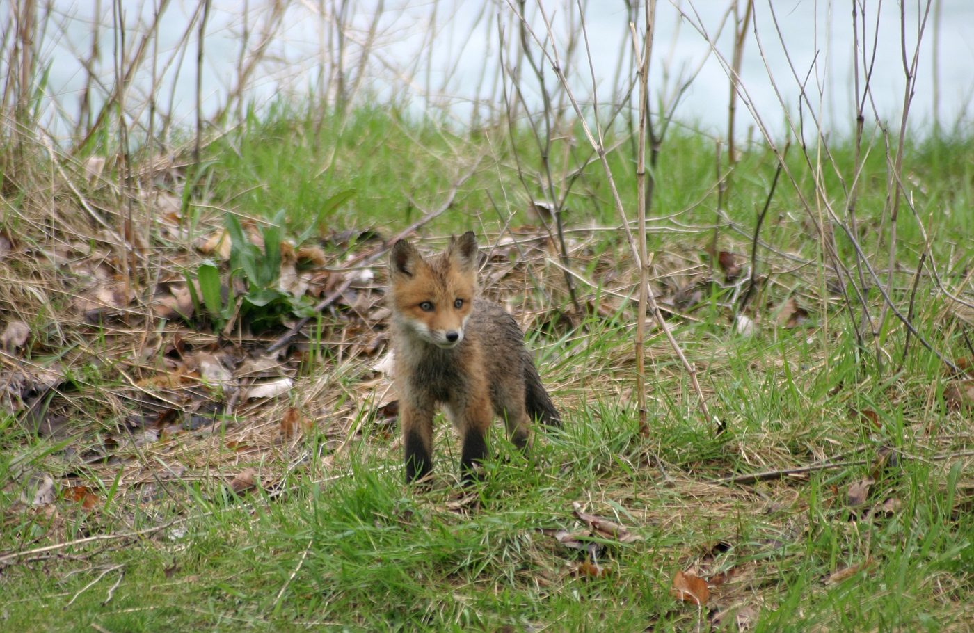 Red Fox Series #18