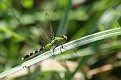 Female Common Pondhawk
