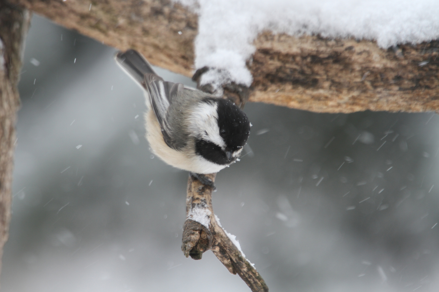 Winter Chickadee #2