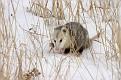 Opossum in the Snow