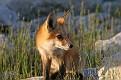 June Red Fox Series #22
