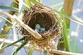 Eggs in Cattail Nest