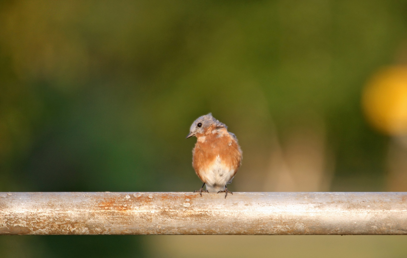 Juvenile Bluebird #3