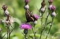 Black Swallowtail #12