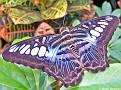 BlueClipperButterfly001