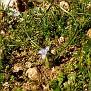 Moraea mediterranea, Gynandriris monophylla (3)