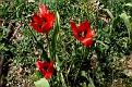 Tulipa agenensis (20)