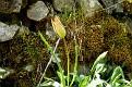 Tulipa agenensis (3)