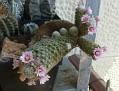 Mammillaria giselae (1)