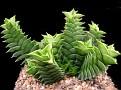 Haworthia viscosa Sandpoort