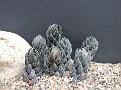 Haworthia coarctata Kowie River (v. chalwini)
