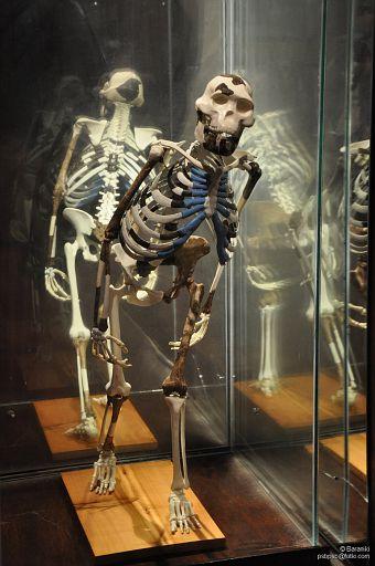 Szkielet Lucy