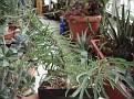 Euphorbia sakarahaensis