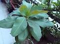 Euphorbia milii hybrid