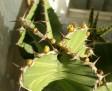 Euphorbia sp.
