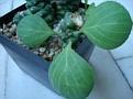 Monadenium ritchei ssp. marsabitensis