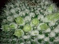 Mammillaria karwinskiana ssp. nejapensis