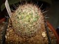 Mammillaria microcarpa
