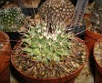 Mammillaria papasquiarensis