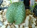 Resnova megaphylla