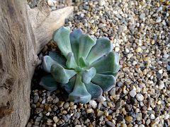 Echeveria atropurpureum 'Lilac Spoons'