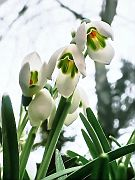 Läutende Frühlingsglöckchen