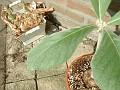 sinningia leucotricha 060505 03